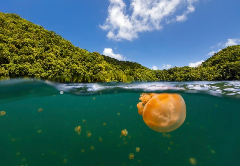 Jelly fish in a lake, Palau